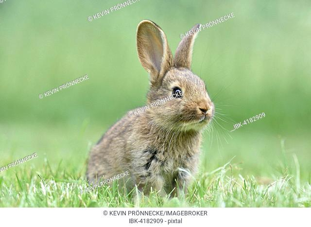 Rabbit, domestic, mixed breed with German Giant, in a meadow, Saxony, Germany