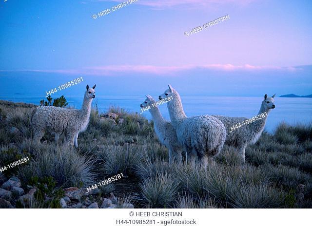 Alpacas on Lake Titicaca, Peru
