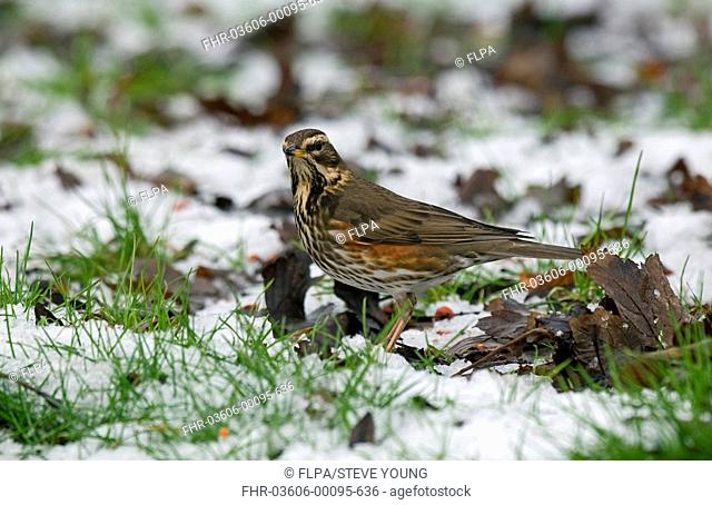 Redwing Turdus iliacus adult, standing in snow, England, winter