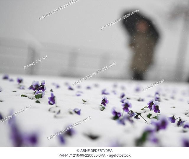 A bed with pansies covered with a layer of snow along the shore of the Rhine in Bingen, Germany, 10 December 2017. Heavy snow fall is providing a total snow...