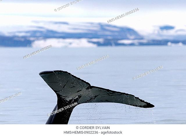 Norway, Svalbard, Nordaustlandet, Humpback whale (Megaptera novaeangliae), tail fin