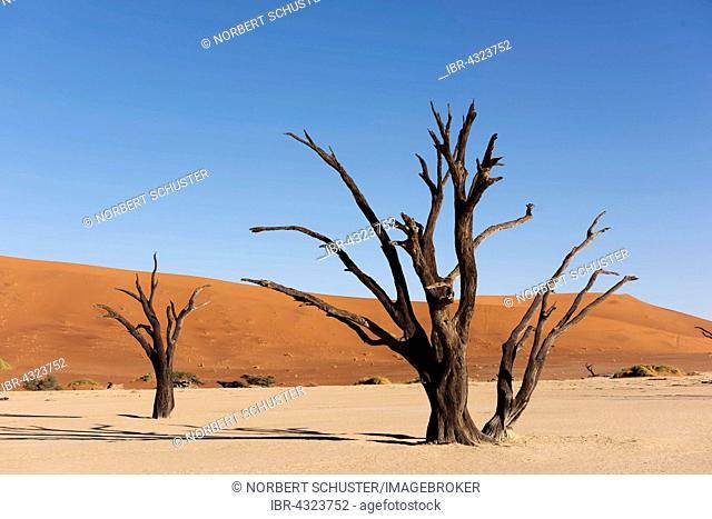 Deadvlei, dead camel thorn trees (Acacia erioloba), Namib-Naukluft National Park, Namib Desert, Namibia