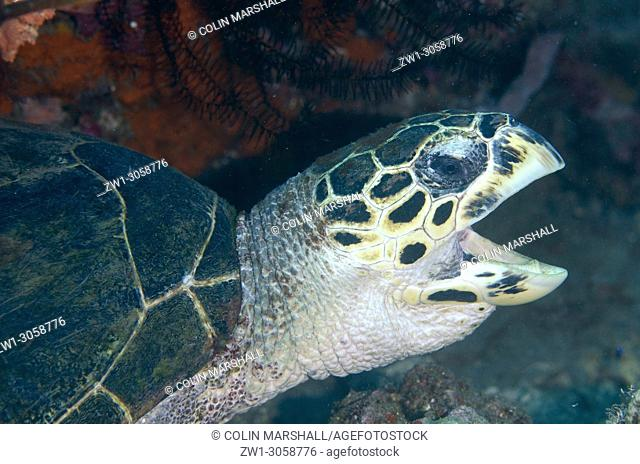 Hawksbill Turtle (Eretmochelys imbricata, Cheloniidae family) with open mouth, Pyramids dive site, Amed, east Bali, Indonesia