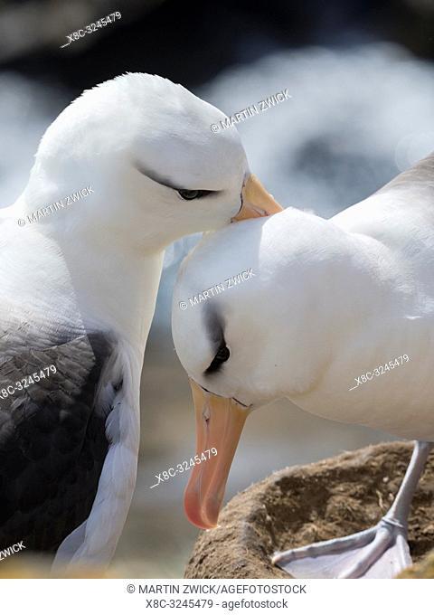 Black-browed albatross or black-browed mollymawk (Thalassarche melanophris), pair preening at nest. South America, Falkland Islands, January