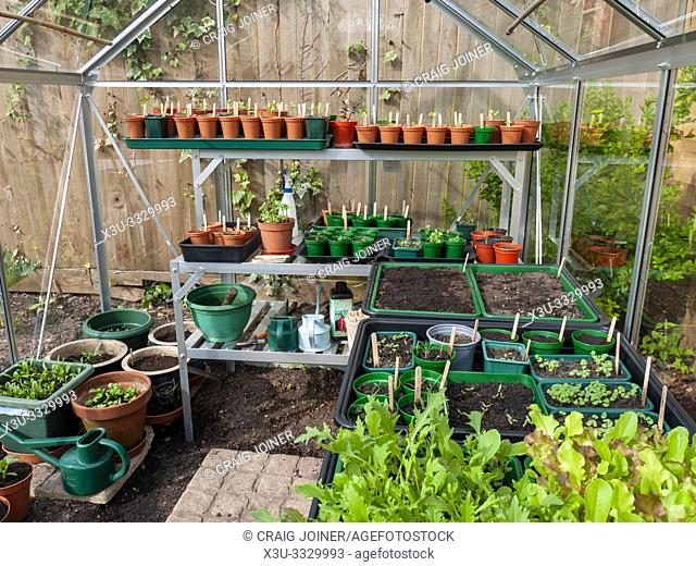 Seedlings growing in an amateur gardener's greenhouse in spring
