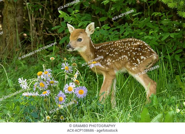 White-tailed Deer Fawn, Odocoileus virginianus, in clearing with wildflowers, Montana, USA