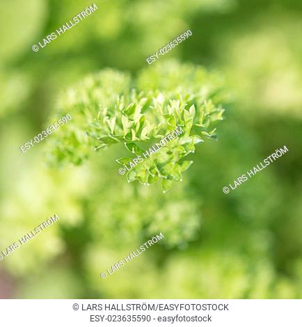 Close up of fresh green curly parsley plants growing in herbal garden