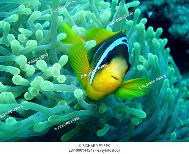Anemonenfisch II