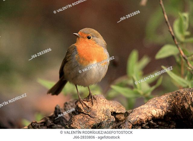 Robin (Erithacus rubecula) in the region of Los Serranos. Valencia
