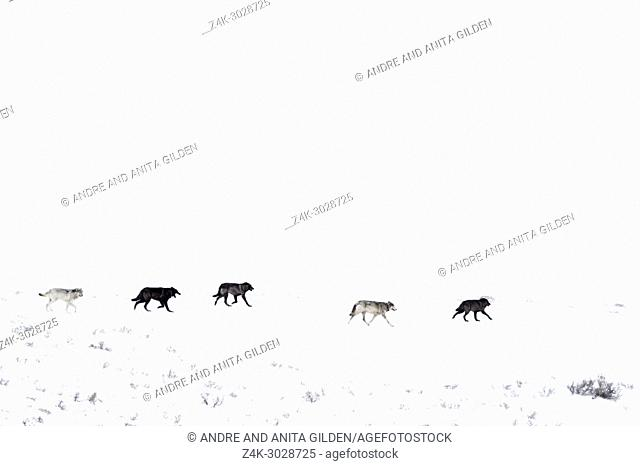 Gray Wolf (Canis lupus) pack running in snow on mountainridge, Lamar valley, Yellowstone national par, Wyoming Montana, USA