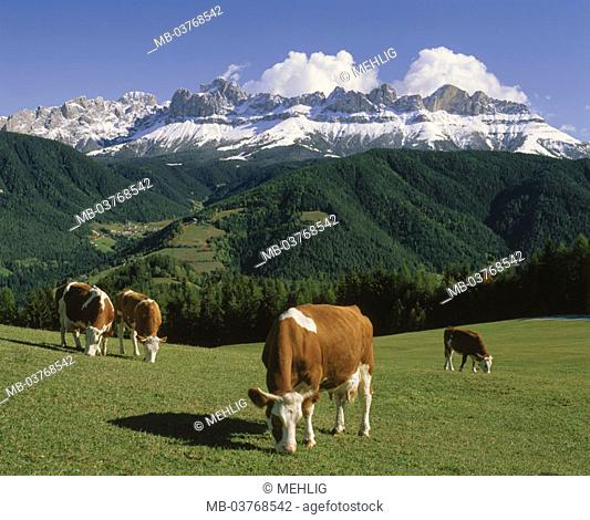 Italy, South Tyrol, German oven, pasture,  Cows, cattle, rose garden group  Europe, Southern Europe, North Italy, Alto Adige, Kuhweide, Alm, animals