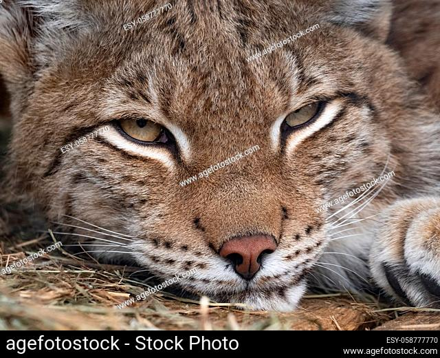 Lynx looks with predatory eyes from the shelter