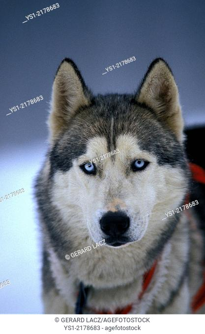 Siberian Husky Dog, Portrait of Adult