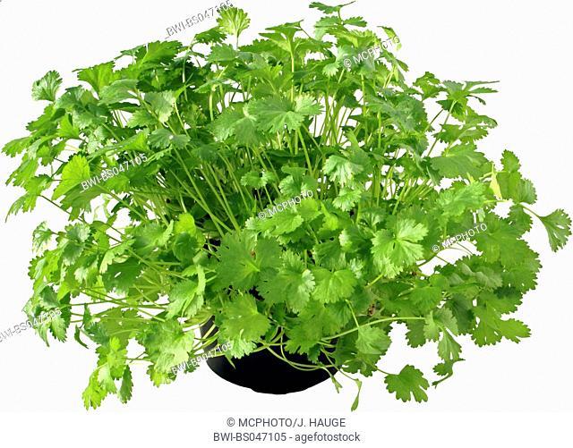 coriander (Coriandrum sativum), potted plant