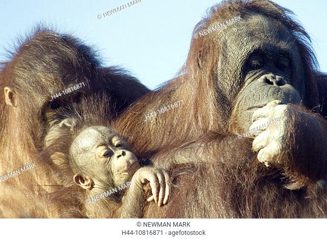 Orang-utang, Pongo pygmaeus, group, dam, young animal, young, portrait, animals, animal, monkey, monkey