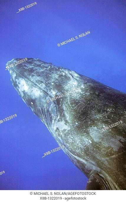 Curious adult humpback whale Megaptera novaeangliae swims under the in the AuAu Channel separating Maui from Lanai, Hawaii  Pacific Ocean