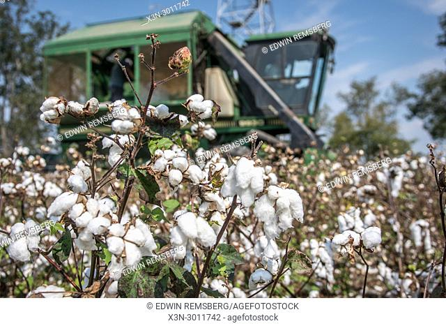 Fluffy and mature cotton plants rise in the foreground while a cotton picker harvests in the background, Tifton, Georgia. USA
