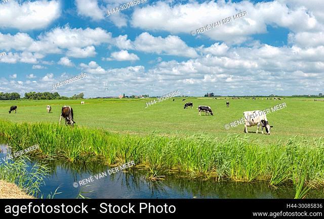 Grazing cows in a field, Workum, Friesland, Netherlands