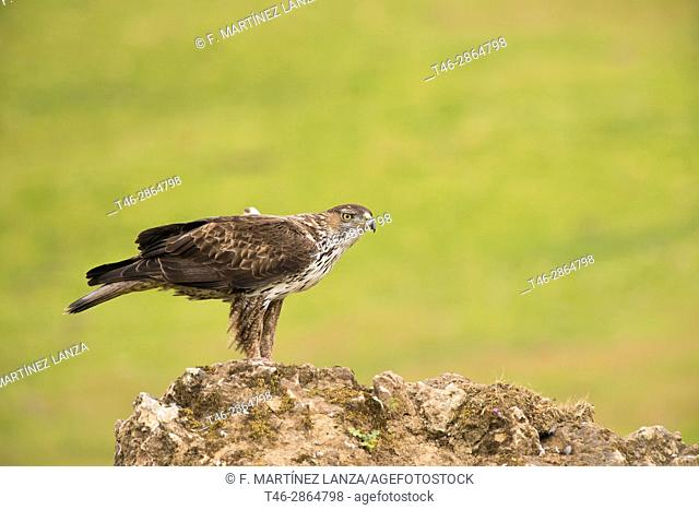 Bonelli's eagle (Aquila fasciata). Photographed at Adamuz in Sierra Morena Andalucia