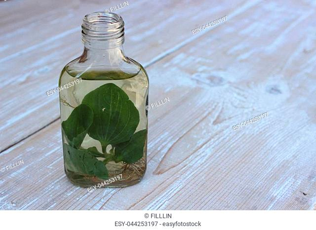 Medical tincture of plantain leaves on the boards