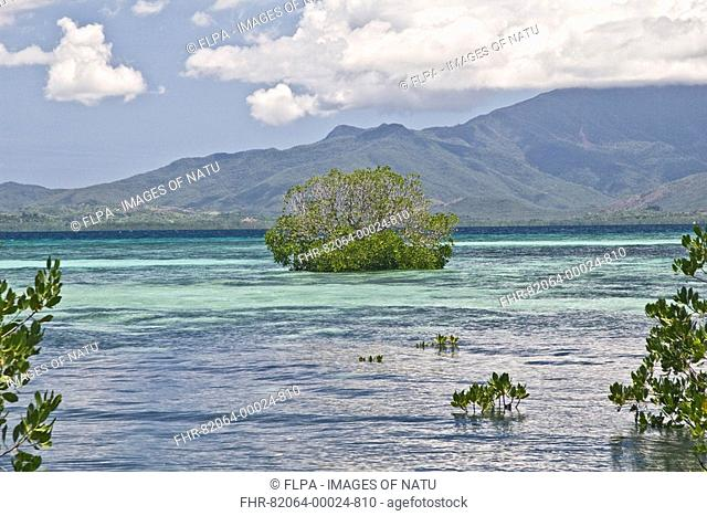 Mangroves Rhizophora sp growing on beach and island in sea at high tide, Palawan Island, Philippines, may