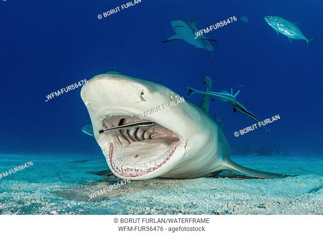 Lemon Shark cleaned by Remora, Negaprion brevirostris, Caribbean, Bahamas