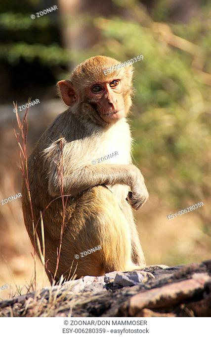 Rhesus macaque (Macaca mulatta) sitting at Taragar