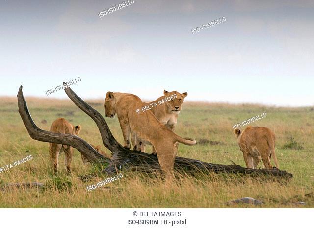 Lionesses playing (Panthera leo), Masai Mara National Reserve, Kenya