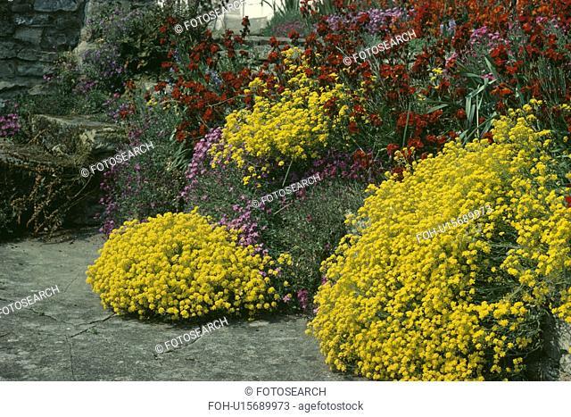 Santolina in borders beside paving in townhouse garden