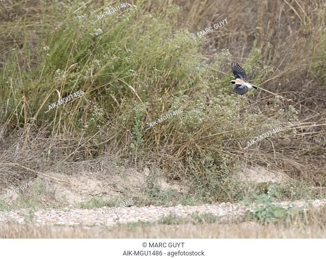 Autumn adult male Western Black-eared Wheatear (Oenanthe hispanica) in late August in flight in northern Spain