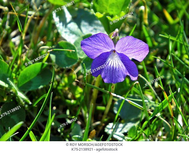 Violet flower, viola