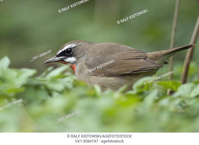 Siberian Rubythroat ( Luscinia calliope ), male bird, sitting on the ground in low vegetation, searching for food, Hoogwoud, Netherlands, wildlife, Europe