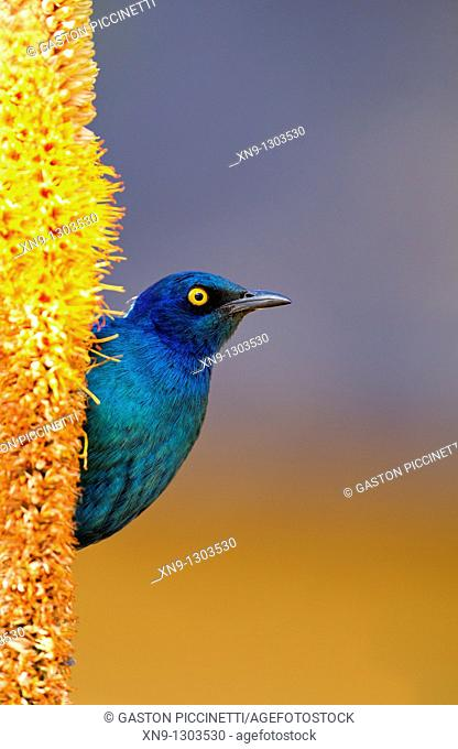 Cape Glossy starling Lamprotornis nitens, on the Skirt aloe Aloe alooides, Kruger National Park, South Africa