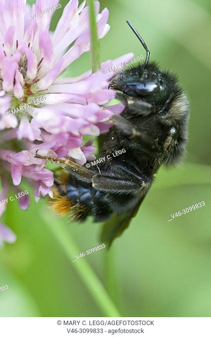 Red-tailed Bumblebee, Bombus rupestris on red clover. European black bumblebee with last segment of abdomen red. Cuckoo bumblebee that invades nests of other...