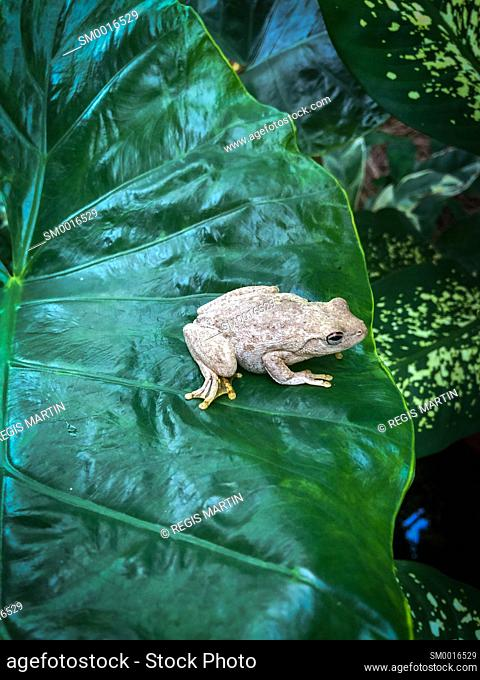 The Roth's tree frog also known as the Northern Laughing tree frog or Litoria rothii, is a native to Northern Australia and Southern Papua New Guinea