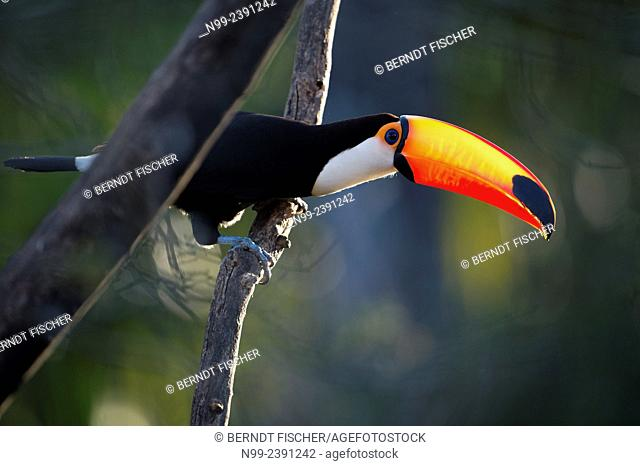 Toso toucan (Ramphastos toco), perching on dead tree, Mato Grosso do Sul, Brazil