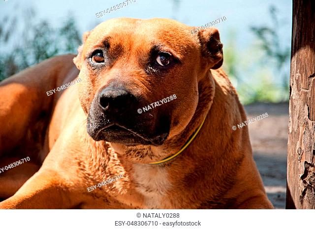 Portrait of beautiful Staffordshire Terrier on nature