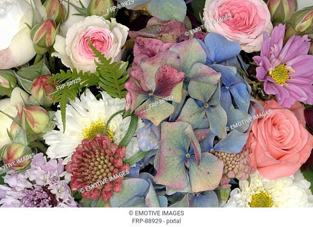 Hydrangeas and Cosmos bipinnatus