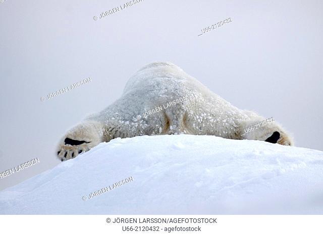 Ice bear, Dalarna, Sweden
