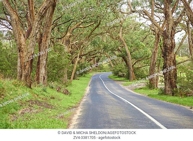 Landscape of a road (Lighthouse Road) going through a Gum tree (Eucalyptus) forest in spring, Great Otway National Park, Australia