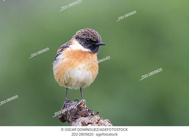 Common Stonechat (Saxicola torquatus) male perched on branch. Albufera Natural Park. Valencian Community. Spain