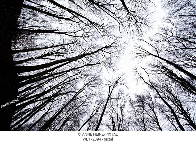 Tree skeletons shot from below into sky above. Trunks appearing as black silhouette, no leaves on decidous beech trees. On the hill Drachenfels in the...