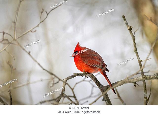 Male Northern Cardinal (Cardinalis cardinalis), Lynde Shores Conservation Area, Whitby, Ontario, Canada