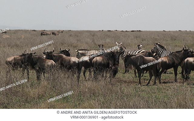 Herd of Zebra and Wildebeest standing together on the plains