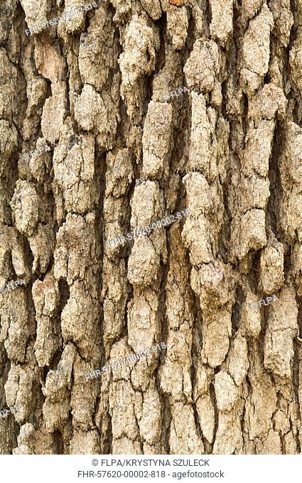 Marri Corymbia calophylla mature tree, close-up of bark, Kings Park, Perth, Western Australia