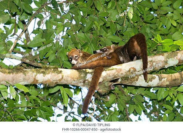 White-nosed Coati Nasua nasua narica adults, resting on branch in lowland tropical forest, Tikal N P , Peten, Guatemala