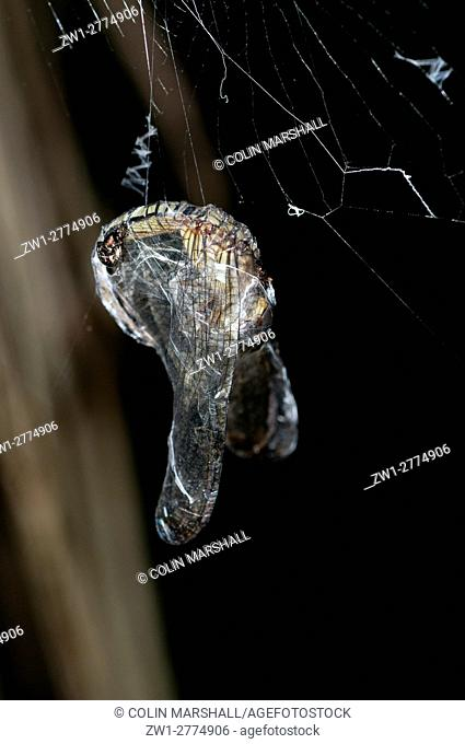 Spider prey, wrapped in silk on web, Klungkung, Bali, Indonesia