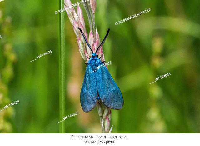 Germany, saarland, bexbach - A green forester on a grass-stock