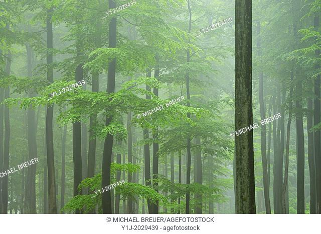 Beech forest in early morning mist, Fagus sylvatica, Spessart, Bavaria, Germany, Europe