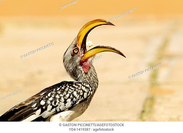 Southern Yellow-billed Hornbill Tockus leucomelas, eating, Mabuasehube, Kgalagadi Transfrontier Park, Botswana